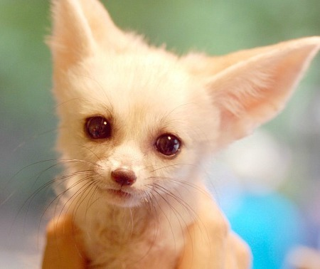 rotting:  Fennec Fox ♥ This adorable critter was born in the Everland Zoo in Korea, but his relatives hail from the scorching Sahara Desert