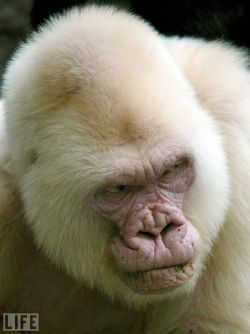 life:  Here's something you don't see everyday, an albino gorilla. see more — Amazing Albino Animals