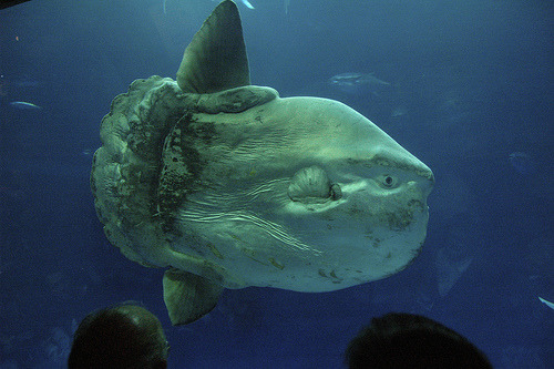 valluhree:montereybayaquarium:Great picture of our ocean sunfish. We're so glad to have it back on exhibit now that the Open Sea has reopened. Hope you had a good time visiting us batmansoundsWe went to the Monterey Bay Aquarium back in spring of 2007, and the Ocean Sunfish became like, my spirit fish. They