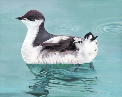 zoestanleyarts:  Marbled Murrelet I chose to paint the Marbled Murrelet in gouache paints.This was really a challenge for me because I was not familiar with the medium. I had fun working with the paints though.  More people should become aware of how many endangered species there are that aren't very popular, that disappear unnoticed.
