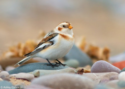 Snow Bunting - I Claim This Pebble  [Last Image 2010] - Explored Front Page! by Wales Birder ( Taking a Flickr Break) on Flickr.