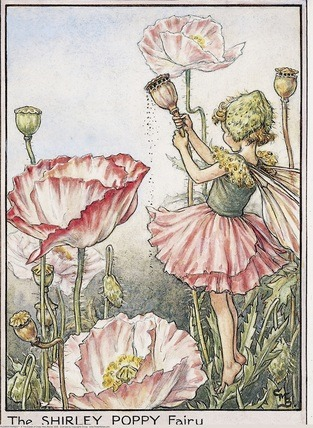 Garden Fairy : The Shirley Poppy Fairy by  Mary Barker