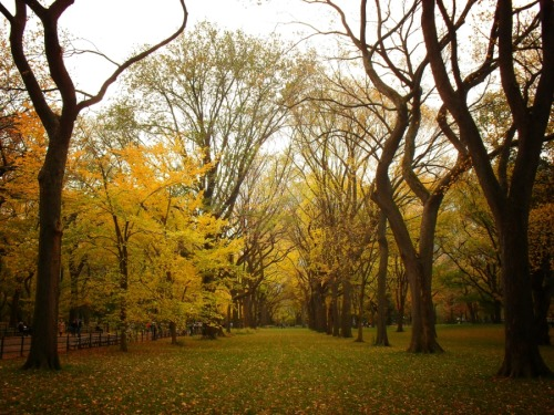 "Autumn elm trees in Central Park. New York City  Autumn is one of my favorite seasons to experience in New York City. The city comes alive with color. One of the most beautiful spots to take in some truly outstanding autumn landscapes is in Central Park. At the peak of autumn, the leaves of the elm trees turn from green to different shades of gold, yellow and orange. As the leaves shed from the trees, the grass becomes almost entirely carpeted with the colorful foliage. Some of the trees in this particular photo are the original elms which were planted by one of the original landscape designers of Central Park, Frederick Law Olmsted.   Dutch elm disease, a fungal disease of elm trees which is spread by the elm bark beetle has been a major threat to the elm trees in New York City. The disease was accidentally introduced into America and Europe, where it has devastated native populations of elms which had not had the opportunity to evolve resistance to the disease. Thankfully, only a few elm trees in Central Park have been afflicted by the disease. It is believed that the majority of Central Park's elm trees have survived because of their isolation from neighboring areas in New York where the disease was more predominant and widespread. Source   —-  In really awesome news, I found out that I was listed on this list that popped up on Business Insider today of photographers on Google Plus:  Top 104 Amazing Photographers To Circle on Google Plus. I am #103 (Vivienne Gucwa). How exciting is that? I did a little dance when I found out!  —-  View this photo larger and on black on my Google Plus page  —-  Buy ""Autumn in Central Park"" Posters and Prints here, Other versions of this print with writing and various borders can be viewed  here (any of them can be customized to have whatever background you desire): ""Autumn in Central Park"" with Black Border, ""Autumn in Central Park"" with White Border, ""Autumn in Central Park"" with Grey Border, View my store, email me, or ask for help."