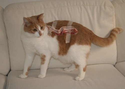Obviously, I care. fistiecuffs:  ONLY 1 IN 10 CATS ARE BORN WITH BACON TAPED TO IT. GINGER HAS GONE THROUGH SEVERAL TREATMENTS BUT THERE IS NOT YET A CURE. REBLOG OR YOU HAVE NO HEART DON'T YOU DARE SCROLL PAST THIS. THIS IS A REAL ISSUE HERE. ONLY A MONSTER WOULDN'T REBLOG THIS!  90 PERCENT OF TUMBLR WOULD SCROLL PAST THIS. REBLOG IF YOURE THE 10 PERCENT THAT CARES.