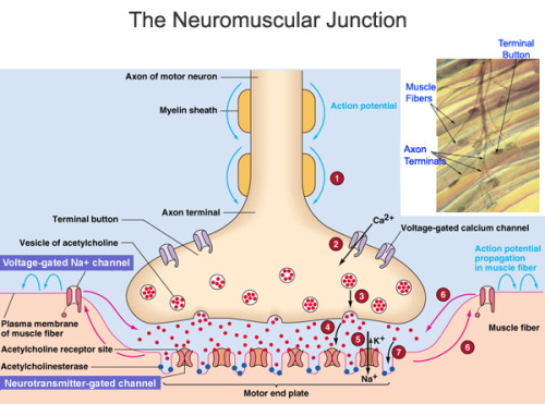 The Neuromuscular Junction (NMJ) is a specialized synapse that serves to transmit electrical impulses (action potentials) from the motor neuron nerve terminal to the skeletal muscle. Basically, the NMJ allows for efficient and reliable communication between the motor neuron nerve and the muscles required for contraction and movement. The primary chemical messenger in this synapse, which consists of the presynaptic region (containing the nerve terminal), the synaptic cleft and the postsynaptic surface, is acetylcholine. These regions are defined by the differential localization of specific proteins, which underlie their distinct anatomical features and their physiological roles.  Now it's time to briefly sum up what goes on in the NMJ, as shown in the diagram above.  1. The action potential (or electrical impulse signal) reaches the nerve terminal in the presynaptic region. The hallmark feature of the nerve terminal is that it contains the synaptic vesicles, along with the proteins that help vesicle function. These vesicles are aligned near their release site, called an active zone.  2. When action potentials reach the nerve terminal they activate calcium channels, which open up and facilitate the influx of calcium into the presynaptic terminal, which in turn commences the process of vesicular release into the synaptic cleft.  3. The increase in intracellular calcium concentration triggers the fusion of the synaptic vesicles with the nerve terminal membrane. The mechanism of synaptic vesicle fusion involves conformational changes in multiple docking proteins both on the vesicle and the nerve terminal's plasma membrane.  4. Once fused with the nerve terminal membrane, the vesicle releases its contents into the extracellular space, also known as the synaptic cleft. The chemical or neurotransmitters (in this case, acetylcholine) released then bind to their corresponding receptors on the postsynaptic surface (also known as the motor end plate in the NMJ).  5 & 6. Acetylcholine binds to its receptors and opens ligand-gated Na+/K+ channels. These structures are designed to optimize cholinergic neurotransmission in order to produce an end plate potential (EPP). The EPP is simply the net synaptic depolarization caused by the release of acetylcholine triggered by the nerve action potential. The EPP is a function of the miniature endplate potential (MEPP) amplitude, which represents the depolarization of the postsynaptic membrane produced by the contents of a single vesicle, and quantal content (number of transmitter vesicles released by a nerve terminal action potential. The EPP serves to open the voltage-gated Na+ channels in the postsynaptic region, which in turn results in an action potential that triggers muscle fiber contraction. These changes in the postsynaptic region potential result in muscle stimulation and contraction. 7. Acetylcholinesterase degrades acetylcholine so that it (choline) can be re-uptaked and recycled to produce new acetylcholine molecules. It's activity terminates synaptic transmission.  Sources: Hughes, Benjamin W., et. al. 2006. Molecular architecture of the neuromuscular junction. Muscle & Nerve. 33(4): 445-461. DOI 10.1002/mus.20440 Motor Systems: Control of Movement and Behavior. 2008. Available at: http://www.colorado.edu/intphys/Class/IPHY3730/09motorsystems.html