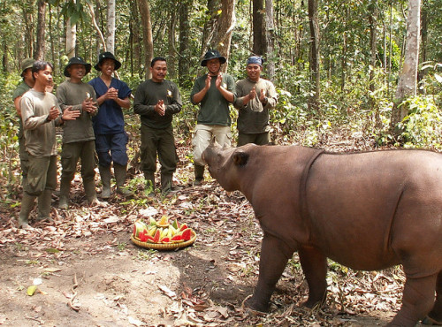 Rosa's Anniversary Cake by savetherhino on Flickr.In Indonesia, Sumatran rhinos survive in only three known locations (Gunung Leuser, Bukit Barisan Selatan, and Way Kambas National Park). Here Rosa the Sumatran Rhino receives a cake for the Anniversary of her first year at the Sumatran Rhino Sanctuary in Way Kambas National Park, Sumatra. Learn more about Way Kambas at http://www.rhinos-irf.org/waykambas/