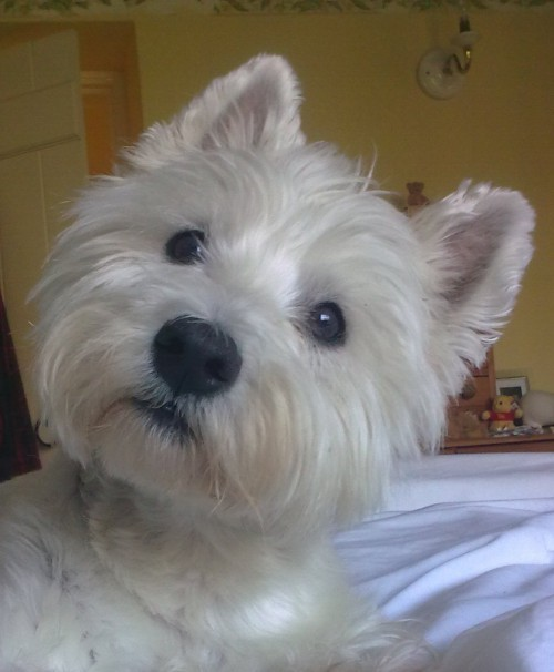 aplacetolovedogs:  Submitted by Mary W: My lovely Westie Holly looking her cutest and posing beautifully while I take her picture - bless her! Original Article