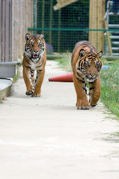 tigersandcompany:  (by Dholi)