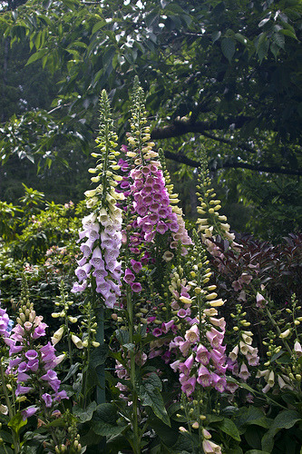 (foxglove by mike_100)