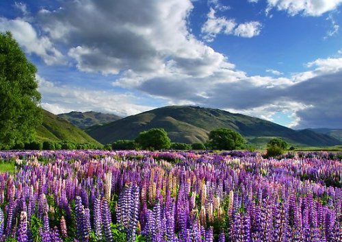 A field of lupin flowers on New Zealand's South Island