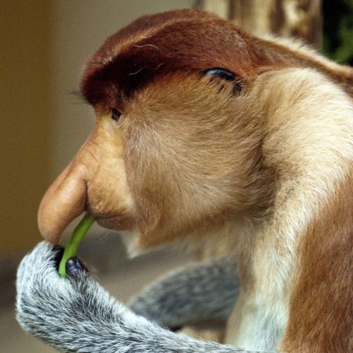 allcreatures:  A proboscis monkey eats at Apenheul Zoo near Apeldoorn, The Netherlands. The Apenheul is the only zoo outside Asia that has proboscis monkeys. Three males arrived from Singapore on 23 July and have gone on show to the public for the first time. Picture: EPA (via Pictures of the day: 27 July 2011 - Telegraph)