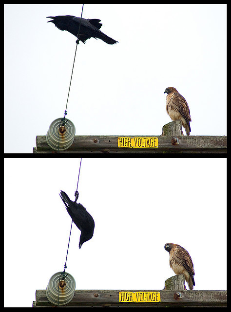 flashyredturk:  headcrabz:  intensive-care-unit:  birdblog:  Raven Trapeze by Kitundu on Flickr.  raven pls   why are birds so funny/cute  that hawk is like wtf are you doin you crazy asshole