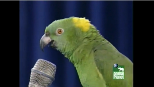 Is it me, or is this parrot not actually saying anything, but just making loud noises that sound kind of human-like?