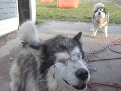 "gemiblu:  ""why is that dog wearing glasses"" ""because his insurance wouldn't pay for contacts"""