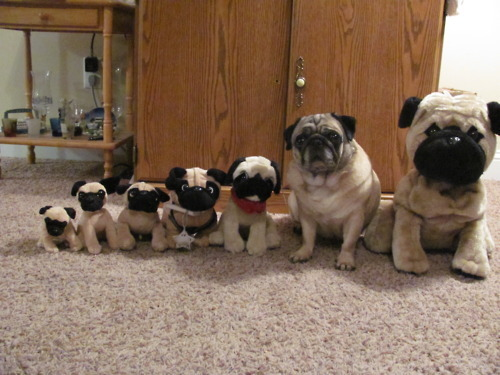 cutepugpics:  They're all adorable but can you tell which puggie is different? (submitted by SheaOV!)