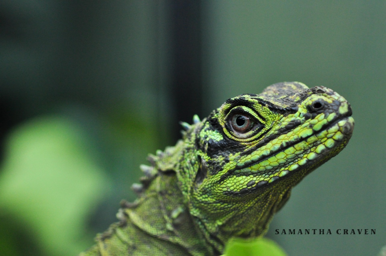 Animals in captivity: Sailfin Iguana, Crocolandia, Cebu