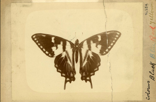 Smithsonian butterflies from curator Shannon Perich - NPR Picture Show.