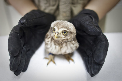 denverpost:  Animal Photo of the Day A veterinarian  stretches her hands to protect a little owl, which is poisoned by  pesticide and suffering from a neurological disorder that makes it  difficult to keep its balance while standing, after a medical check at  the Beijing Raptor Rescue Center in Beijing, China. As Beijing falls  along a north-south migratory route that the birds use, more than 43  types of raptors can be found in the city year-round, some of which die  or are injured in collisions with skyscrapers and overhead lines or   trapped by illegal bird catchers.  (AP Photo/Alexander F. Yuan)