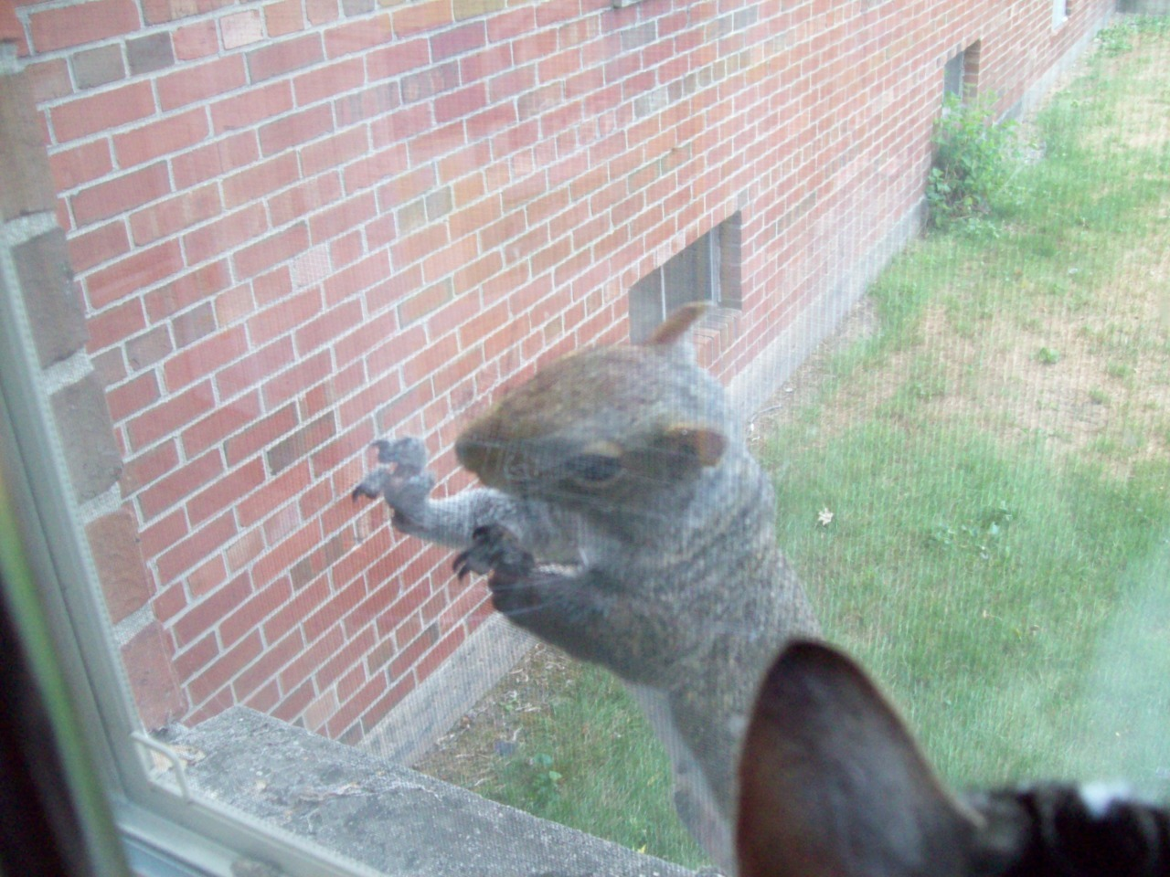 pattyloveslamp:  A squirrel tried to break into my apartment D:   the squirrel crime rate has really been going up… next thing you know gangs of squirrels will be moving in a demanding protection money