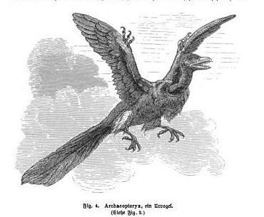 """Archaeopteryx, ein Urvogel"" from Rudolf Bommeli (1890) Die geschichte der erde.  ""Not far from the Pterodactyl is a much more famous fellow, a real bird,but very strange kind he has no flight skin, but a real feather wings, butthese well-trained to toes with claws, so the whole four feet. Who has heard such a thing! He bears teeth in its beak and a learned starling or a linguist parrot would call not at the beak. And just the tail! Such a thing would not wear a hopeful cock still a silly goose. Quite against all fashion. It's also the first bird."" - from German with much help from Google Translate."