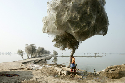 Spiders in Pakistan encase whole trees in webs.