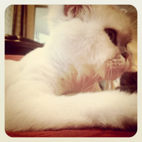 #kitten #kitty #Persian #meow #wiskers (Taken with instagram)