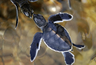 ruineshumaines:  baby turtles (by m for marvellous)