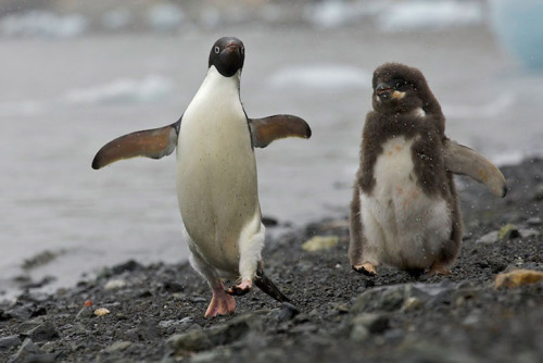 kari-shma:  (via Ice and Penguins by Tim Laman)