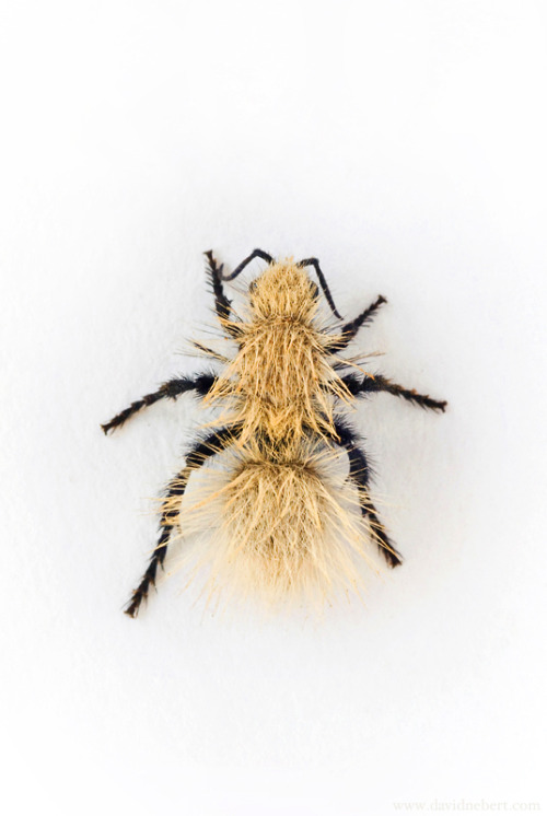 female Sackeni's Velvet Ant (Dasymutilla sackenii).   I'll probably be posting more photos of this one.  I found and photographed her today.  For whatever reason she decided to stay still for photo-taking, works for me!