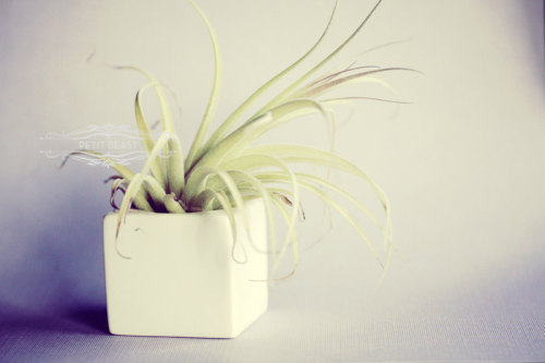Air plant from PetitBeast.