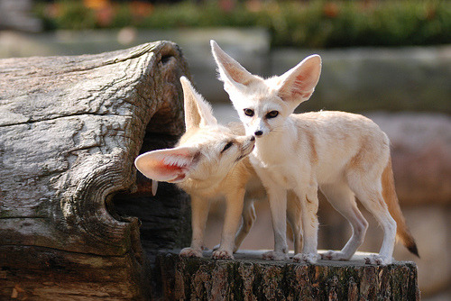 executions:  Fennec foxes by floridapfe