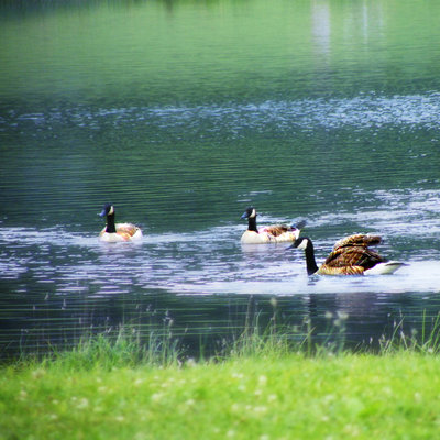 photography by me moraine canada geese