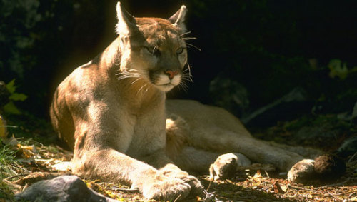 Mountain lion killed in Connecticut prowled from South DakotaThe wild animal traveled more than 1,500 miles eastward before being hit by a car in the posh suburb of Greenwich, Conn. The cross-country trek is one of the longest movements on record for a land mammal and nearly doubles any known distance traveled by a mountain lion, and it's also the first recorded confirmation of a wild mountain lion in Connecticut in more than 100 years.