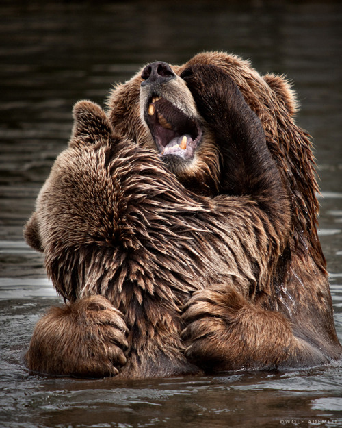 magicalnaturetour:  Big Bear by Wolf Ademeit