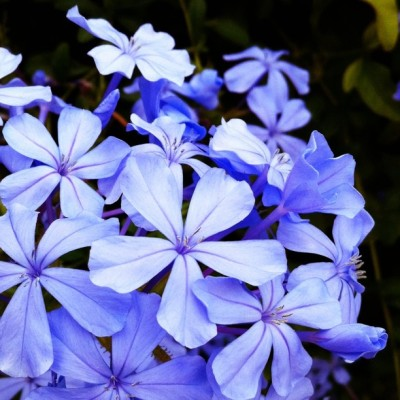 #plumbago #blue #flowers #flower (Taken with instagram)