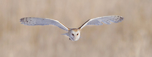 somehowlou:  Barn Owl on the Brain (by tundra wookie)