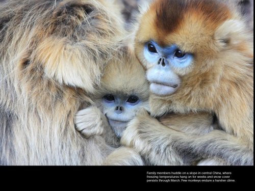 thekingofcupssexpectsapicnic:  Golden snub-nosed monkey via National Geographic Magazine