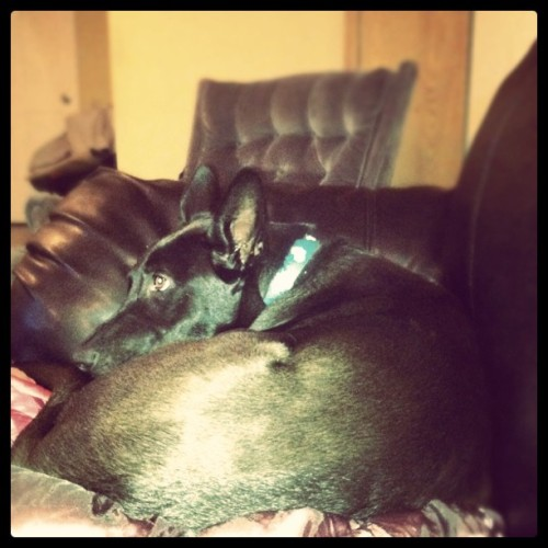 My #beautiful #puppy #dog #noelle #watching #tv #black #eyes #ears #shepherd #mix (Taken with instagram)