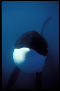 Reblogged : Up close killer whale in the ocean