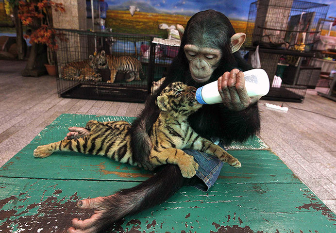 wavesfadingwords:  Bangkok, Thailand: A chimpanzee feeds milk to a tiger cub at Samut Prakan crocodile farm and zoo..
