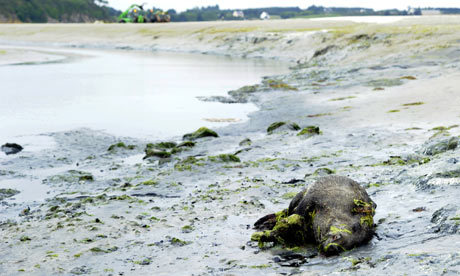 31 wild boars found dead on toxic algae beach in France. Caused by millions of tons of farming effluent dumped into ocean. Agriculture lobby denies. Sarkozy taking heat. More here.