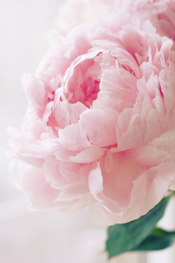 Gorgeous Pink Flower;  A Peony I think