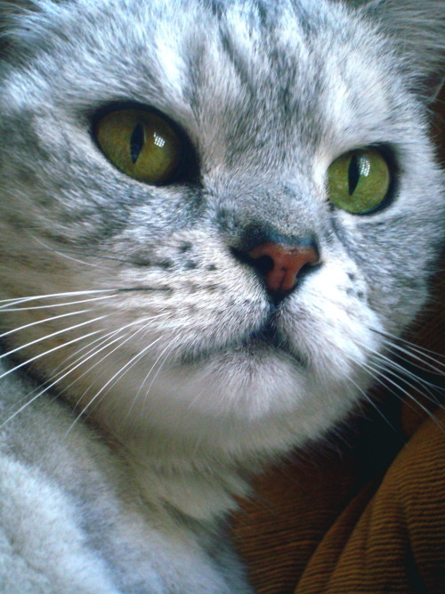 toulouse, british shorthair.