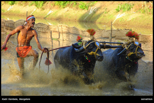 Kadri Kambala, Mangalore on Flickr. Kambala is traditionally a buffalo race. The 'track' used for Kambala is  a paddy field filled with slush. The contest generally takes place  between two pairs of buffaloes, controlled by a whip-lashing farmer.