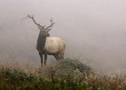 hauntingreveries:  Pt Reyes-Stag in Mist by GaryEllis2010 on Flickr.