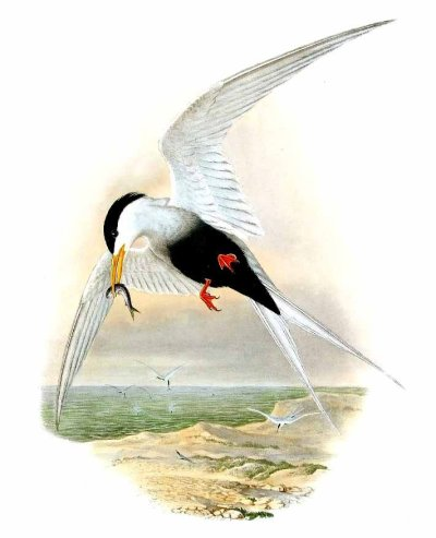 Black-Bellied Tern.