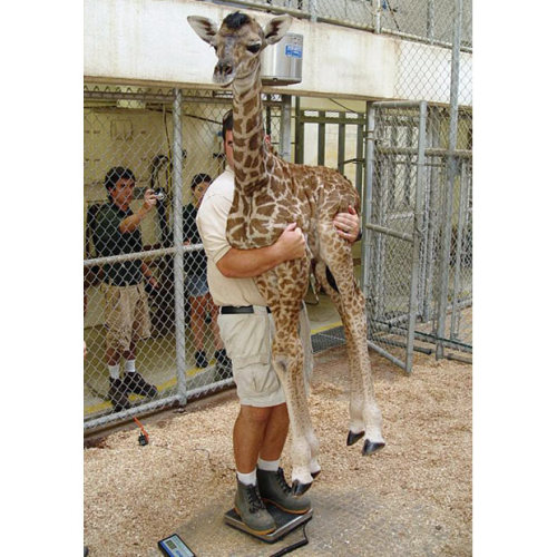 inothernews:  WEIGHT BLOOMER   A worker holds a new-born giraffe as it is weighed for the  first time at the Virginia Zoo in Norfolk, Virgina. (Photo: The Virginia Sun via the AP / The Telegraph)   持てるんだ!?