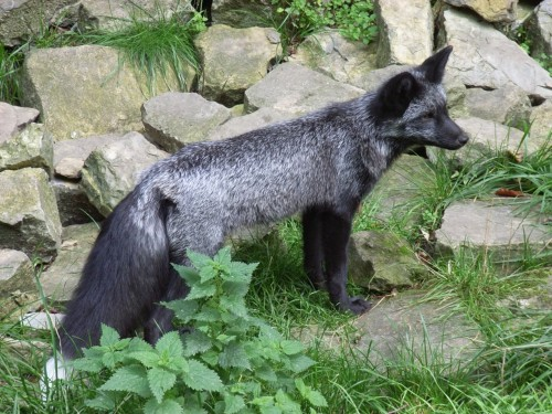 The domesticated silver fox:  The domesticated silver fox (marketed as the Siberian fox) is a domesticated form of the silver morph of the red fox. As a result of selective breeding, the new foxes not only became tamer, but more dog-like as well. The result of over 50 years of experiments in the Soviet Union and Russia, the breeding project was set up in 1959[1] by the Soviet scientist Dmitri Belyaev. It continues today at The Institute of Cytology and Genetics at Novosibirsk, under the supervision of Lyudmila Trut. […] Domesticated foxes exhibit both behavioral and physiological changes from their wild forebears. They are friendlier with humans, put their ears down (like dogs), wag their tails when happy, and vocalize and bark like domesticated dogs. As a consequence of breeding, they also developed color patterns like domesticated dogs and lost their distinctive musky 'fox smell'.