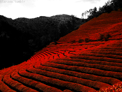 This is a tea field in SKorea. And…I just really like the color red. :B Anyway.