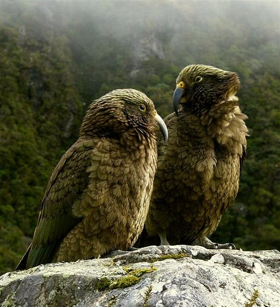 The Kea (Nestor notabilis) is a species of parrot (family Psittacidae)  found in forested and alpine regions of the South Island of New Zealand.  The Kea is one of the few alpine parrots in the world, and includes  carrion in an omnivorous diet consisting mainly of roots, leaves,  berries, nectar and insects. Now uncommon,the Kea was once killed for  bounty as it preyed on livestock, especially sheep, only receiving full  protection in 1986. (by Steve Reekie)